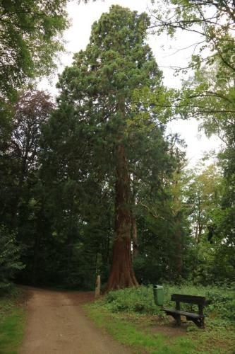 Mammoetboom (sequoia) in Domein de Renesse in Oostmalle