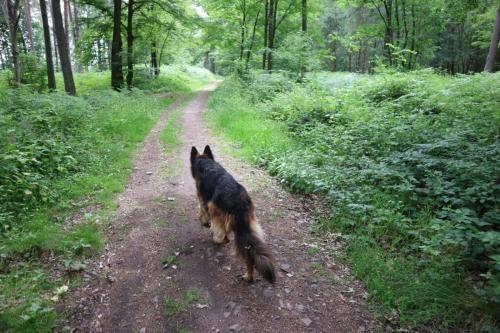 Hjørdis op wandelpad door het bos tussen Hourpes en Thuin